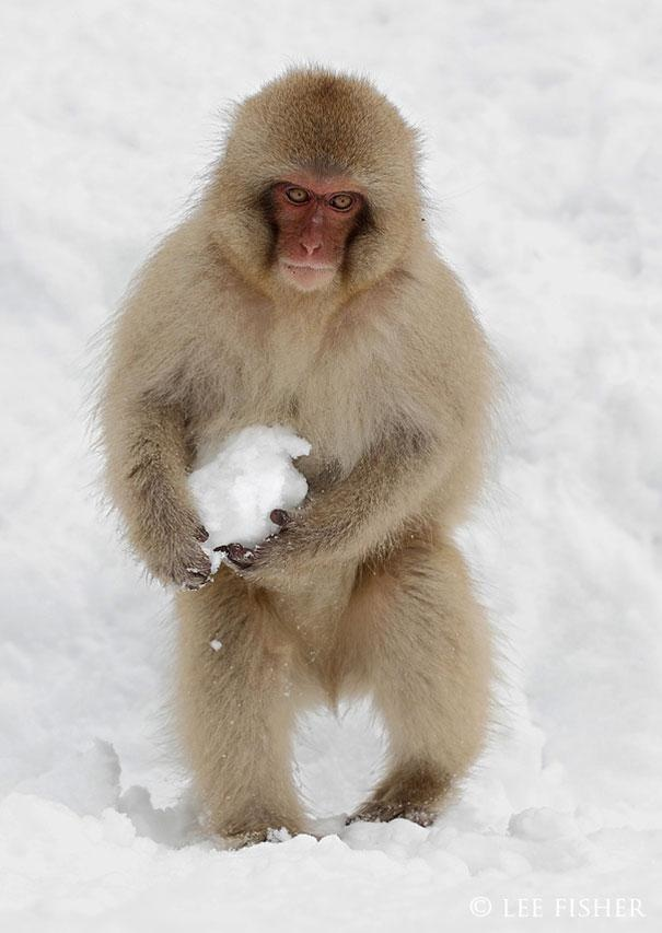 11-japanese-macaques-make-snowballs-for-fun