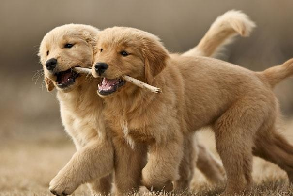 13-when-playing-with-female-puppies-male-puppies-will-often-let-them-win-even-if-they-have-a-physical-advantage