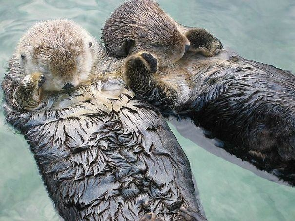 15-sea-otters-hold-hands-when-they-sleep-to-keep-from-drifting-apart
