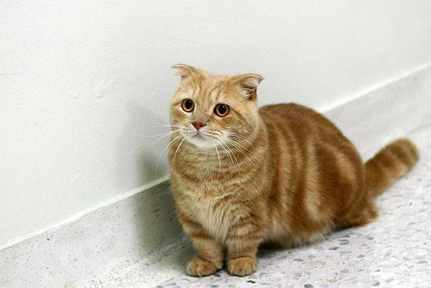 18-the-corgi-version-of-a-cat-exists-and-they-are-called-munchkin-cats