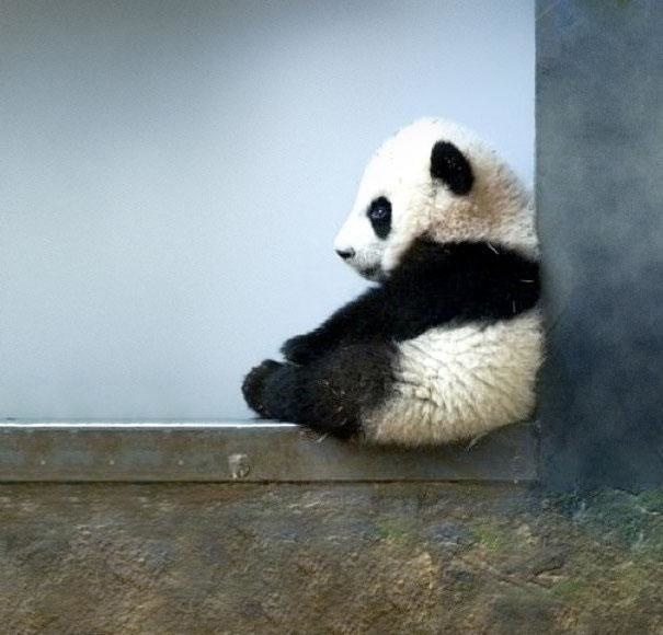 19-in-china-killing-a-panda-is-punishable-by-death