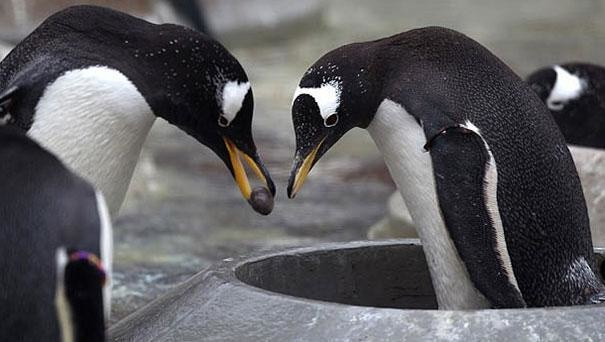 2-gentoo-penguins-propose-to-their-life-mates-with-a-pebble
