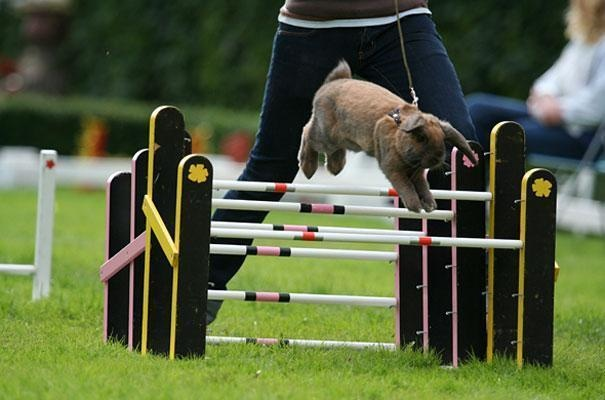 20-sweden-has-a-rabbit-show-jumping-competition-called-kaninhoppning