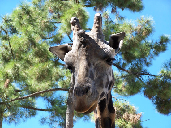 21-the-stately-giraffe-whose-head-sits-some-16-feet-up-atop-an-unlikely-pedestal-adapted-his-long-neck-to-compete-for-foliage-with-other-grazers
