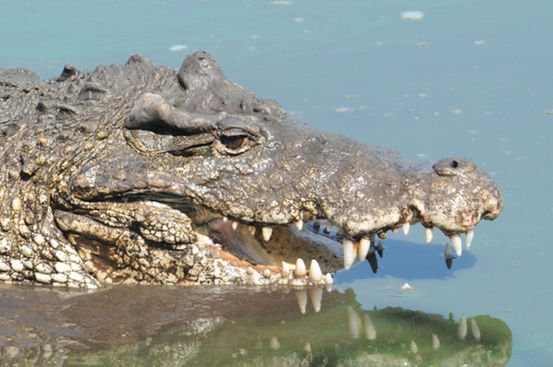 24-crocodiles-swallow-stones-for-swimming