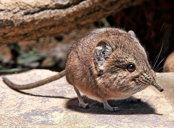 9-the-closest-relatives-to-the-elephant-shrew-are-actually-elephants-not-shrews