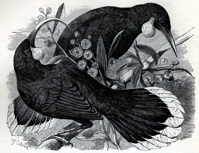 huia-bird